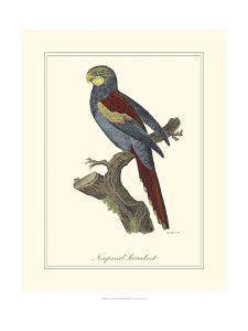 Nonpareil Parrakeet by George Edwards