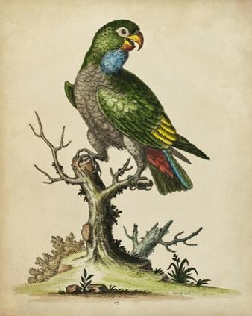 Paradise Parrots I