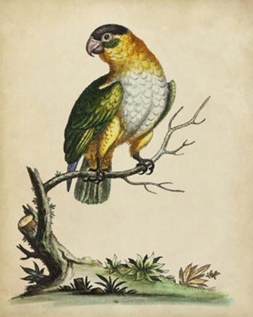 Paradise Parrots VI
