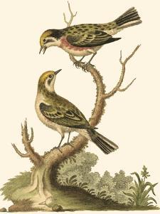 Petite Bird Study IV by George Edwards