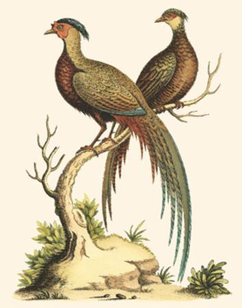 Small Regal Pheasants II