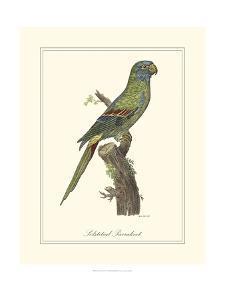 Solstitial Parrakeet by George Edwards