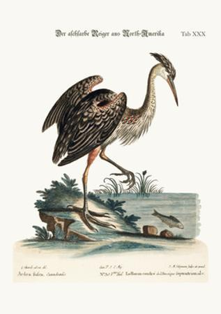 The Ash-Coloured Heron from North-America, 1749-73