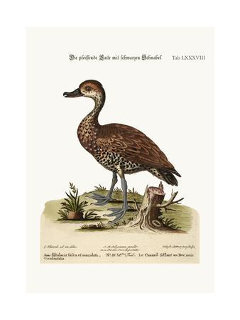 The Black-Billed Whistling Duck, 1749-73