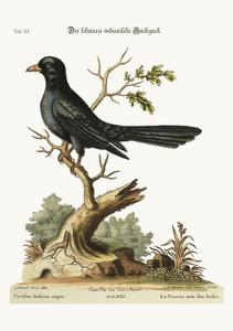 The Black Indian Cuckow, 1749-73 by George Edwards