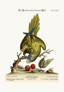 The Brown-Throated Parrakeet, 1749-73 by George Edwards