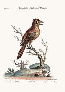 The Crested Red or Russit Butcher-Bird, 1749-73 by George Edwards