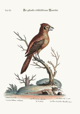 The Crested Red or Russit Butcher-Bird, 1749-73