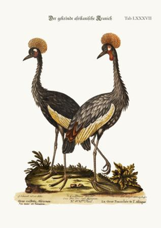 The Crowned African Crane, 1749-73