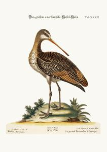 The Greater American Godwit, 1749-73 by George Edwards