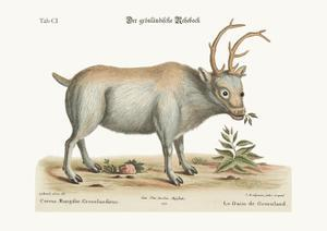 The Greenland Buck, 1749-73 by George Edwards