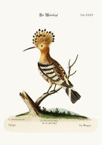 The Hoopoe, 1749-73 by George Edwards