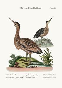 The Little Brown Bittern, 1749-73 by George Edwards