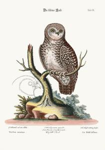 The Little Owl, 1749-73 by George Edwards
