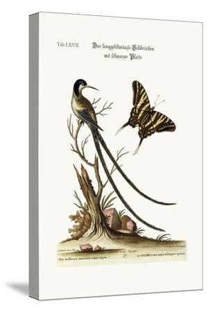 The Long-Tailed Black-Capped Hummingbird, 1749-73