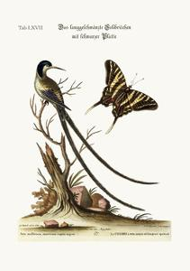 The Long-Tailed Black-Capped Hummingbird, 1749-73 by George Edwards