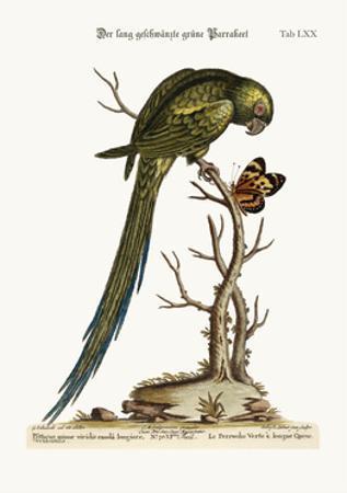 The Long-Tailed Green Parrakeet, 1749-73