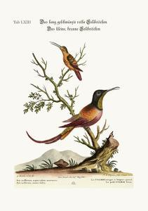 The Long-Tailed Red Hummingbird. the Little Brown Hummingbird, 1749-73 by George Edwards