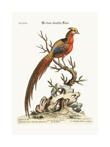 The Painted Pheasant from China, 1749-73 by George Edwards