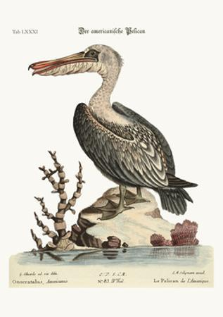 The Pelican of America, 1749-73