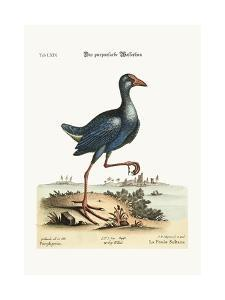 The Purple Water-Hen, 1749-73 by George Edwards