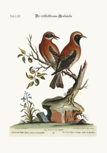 The Red or Russet-Coloured Wheat-Ear, 1749-73 by George Edwards