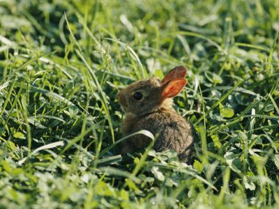 A Baby Cottontail Rabbit Sits Among the Clover