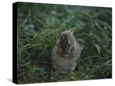 A Baby Cottontail Rabbit Washes its Face
