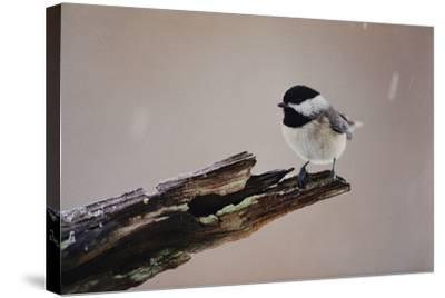 A Black-Capped Chickadee