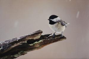 A Black-Capped Chickadee by George F. Mobley