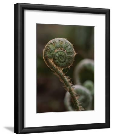 A Close View of a Fiddlehead Fern Frond