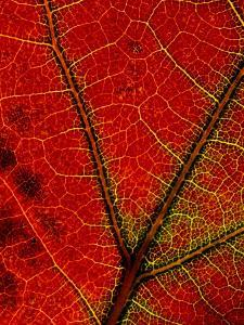 A Close View of the Veins of a Colorful Maple Leaf in Autumn by George F^ Mobley