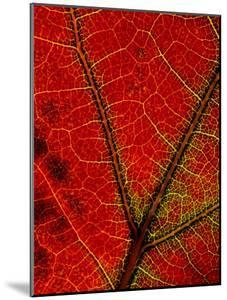 A Close View of the Veins of a Colorful Maple Leaf in Autumn by George F. Mobley