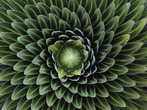 A Giant Lobelia Plant, Lobelia Telekii by George F^ Mobley