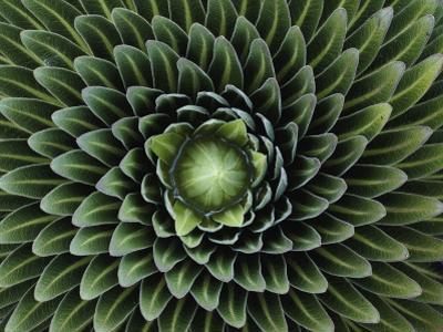 A Giant Lobelia Plant, Lobelia Telekii by George F. Mobley