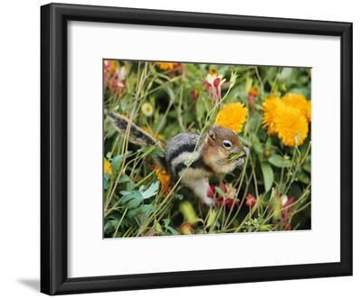 A Golden-Mantled Ground Squirrel Nibbles a Meal Amidst Wildflowers