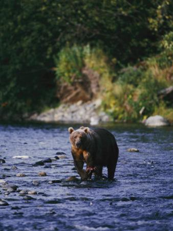 A Kodiak Brown Bear Hunts for Fish