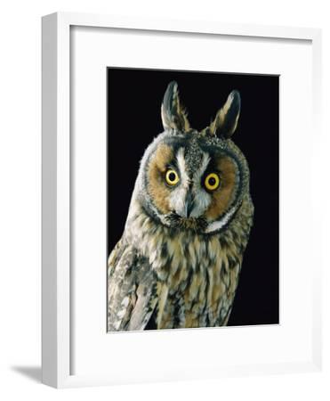 A Long-Eared Owl