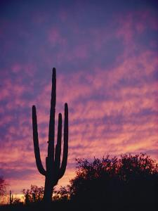 A Saguaro Cactus Silhouetted at Sunset by George F^ Mobley