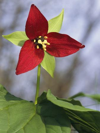A Trillium Flower Blooming in the Great Smoky Mountains by George F^ Mobley