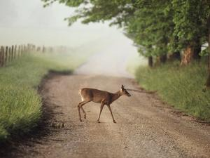 A White-Tailed Deer Crosses a Dirt Road in Cades Cove by George F. Mobley