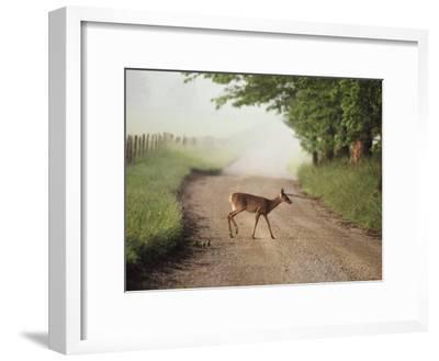 A White-Tailed Deer Crosses a Dirt Road in Cades Cove