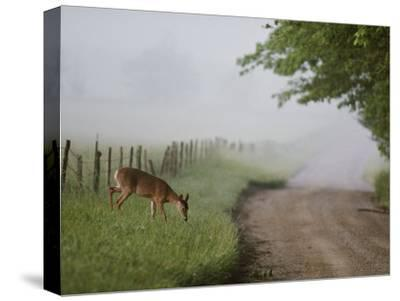 A White-Tailed Deer Feeds by a Dirt Road at Cades Cove