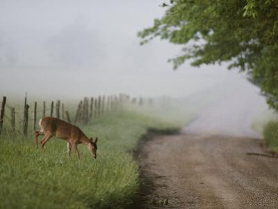 A White-Tailed Deer Feeds by a Dirt Road at Cades Cove by George F^ Mobley