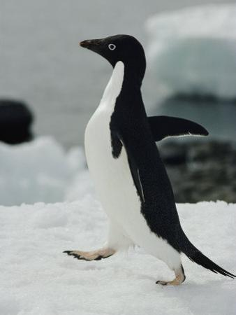 An Adelie Penguin Struts its Stuff