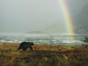 An Alaskan Brown Bear and Rainbow Near Nonvianuk Lake by George F. Mobley