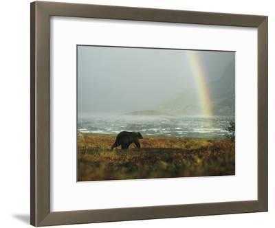 An Alaskan Brown Bear and Rainbow Near Nonvianuk Lake