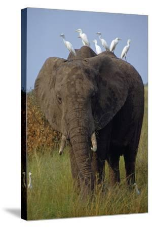 Cattle Egrets Perch Atop an Elephant Foraging in Grassland