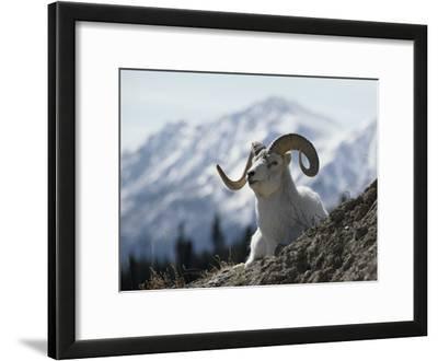 Close-up of a Dalls Sheep