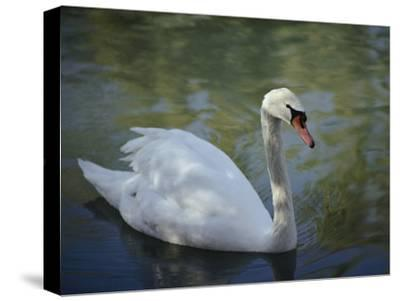 Close-up of a Tundra Swan Swimming in a Shaded Pond